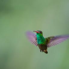719 Rufous-tailed Hummingbird--Macxquipucuna--Ecuador