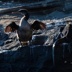 1001 Flightless Cormorant-- Marine Iguana--Tagus Cove--Isabela Island