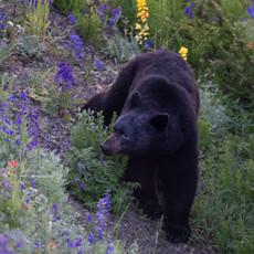 1435 Black Bear--Flower--Hurricane Ridge