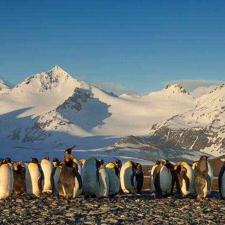 111 King Penguin--St. Andrew's Morning