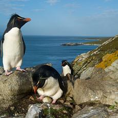 202 Southern Rockhopper--Egg--Falkland Islands