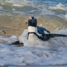 403 African Penguin--Surf Ashore--South Africa