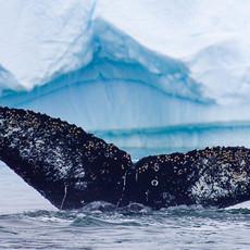 604 Humpback Whale--Ice Garden--Penola