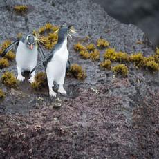 204 Northern Rockhopper Penguin--Gough Island