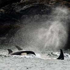1411 Orca--Transients--San Juan Islands