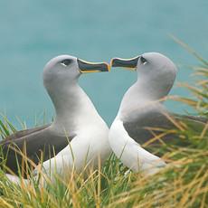 516 Gray-headed Albatross--One heart two birds--South Georgia Island