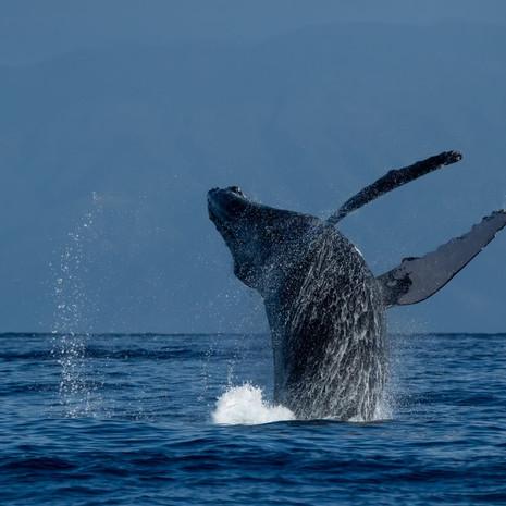 1806 Humpback Whale--Breaching Twist--Kaanapali--Maui