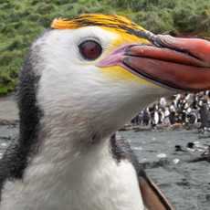 215 Royal Penguin--Sandy Bay--Macquarie Island