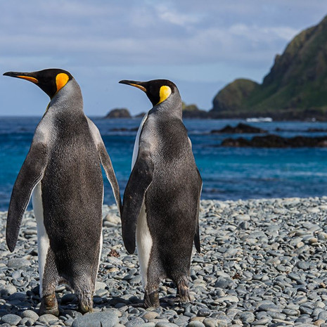 113 King Penguin--Couple Hand in Hand--Macquarie Island