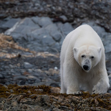1902 Polar Bear--Mother Approaching--Svalbard