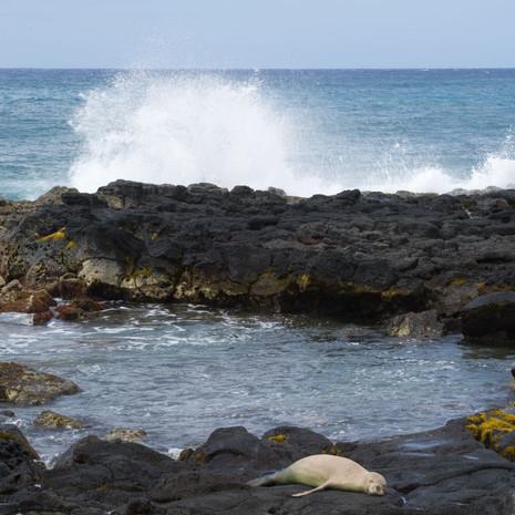 1811 Monk Seal--Endangered Marine Animal--Poipu Beach--Kauai--Hawaii