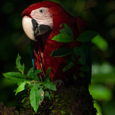 1239 Red and Green Macaw--Guyana