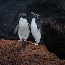 209 Eastern Rockhopper Penguin--Musgrave Harbor--Auckland Island