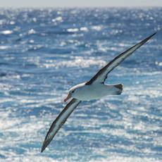 514 Black-browed Albatross--Drake Passage