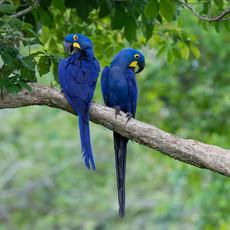 1221 Hyacinth Macaaws--Pair at Nest--Pantanal--Brazil