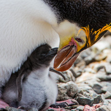 221 Royal Penguin--Chick--Macquarrie Island