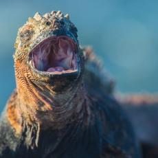 1012 Marine Iguana--Spit Bridges--Chinese Hat Island
