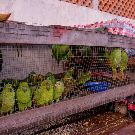 1227 Parrots as Merchandise--Guyana