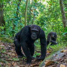 1100 Chimpanzee--Pair Walking on Path--Mahale--Tanzania
