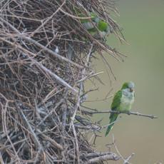 1226 Monk Parakeet--Pantanal--Brazil