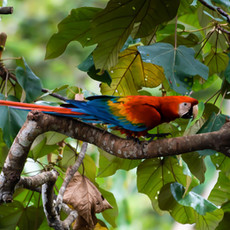 1236 Scarlet Macaw--Manu Amazon Basin--Peru