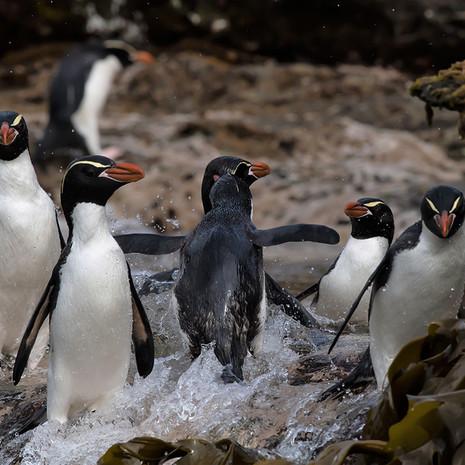 229 Snares Crested Penguin--Ho Ho Bay--Snares Islands