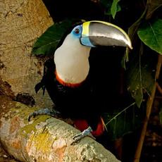 700 White-chested Toucan--Amazon Basin--Ecuador