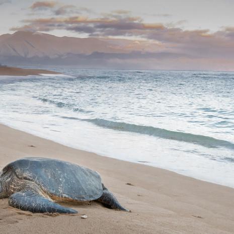1823 Green Sea Turtle--Baldwin Beach--Maui