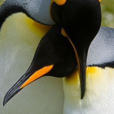 115 King Penguins--Courtship--Falklands