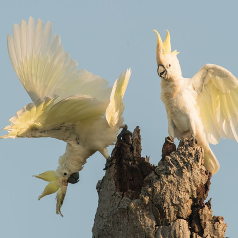 1201 Yellow-crested Cockatoo--Nest Tree--Masaakambing--Indonesia