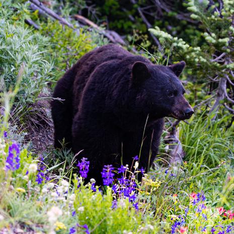 1436 Black Bear--Mother--Hurricane Ridge
