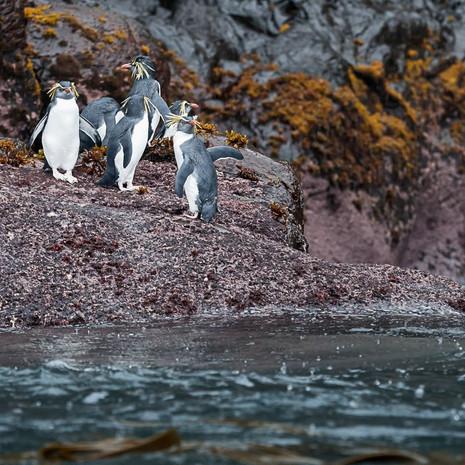 206 Northern Rockhopper Penguin--Gough Island