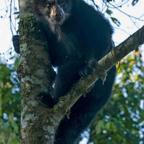 821 Spectacled Bear--Oso Andino--Maquipacuna