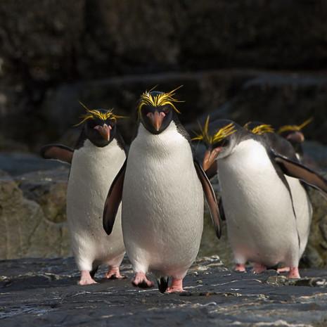 212 Macaroni Penguin--Boys Are Back--Coopers Bay South Georgia Island