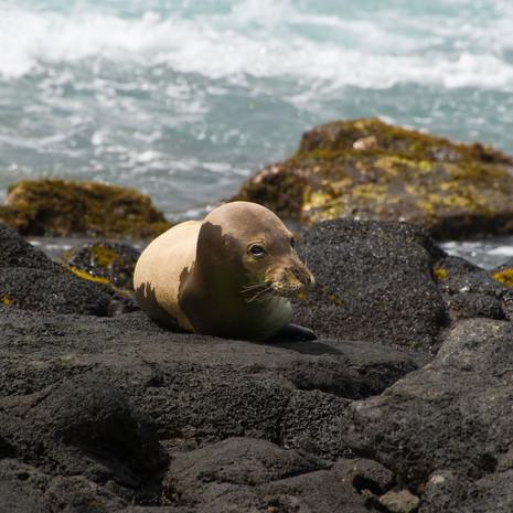 1812 Monk Seal 2--Endangered Marine Animal--Poipu Beach--Kauai--Hawaii