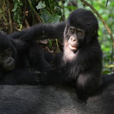 1119 Gorilla--Young Play on Dad--Bwindi--Impenetrable Forest--Uganda