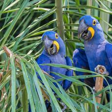 1220 Hyacinth Maacaw--In Palms--Pantanal--Brazil