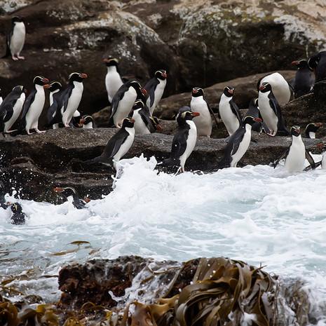 227 Snares Crested Penguins--Ho Ho Bay--Snares Islands