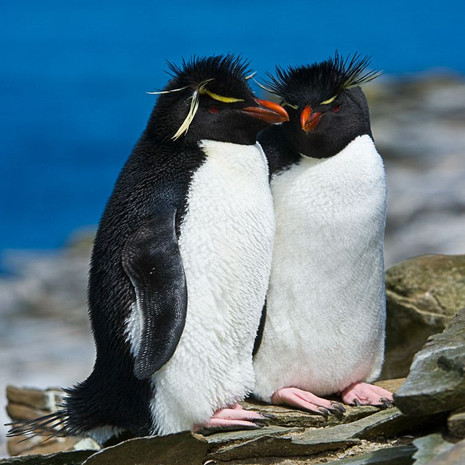 201 Southern Rockhopper--Intimate Penguins--Falkland Islands