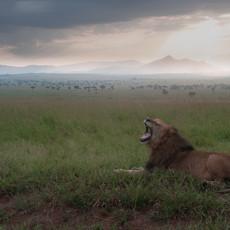 1103 African Lion--Panoramic Sunrise--Kidepo