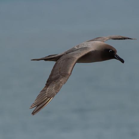 502 Light-mantled Sooty Albatross-- Aauckland Island--New Zealand