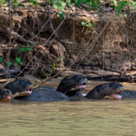 806 Giant River Otter--Pantanal Brazil