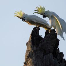 1202 Abbotti Cockatoo--C. sulphurea abbotti--Pair at Nest--Masakambing Island--Indonesia