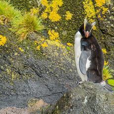 235 Erect-crested Penguin--Antipodes Islands--New Zealand