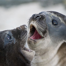 609 Southern Elephant Seal--Falklands