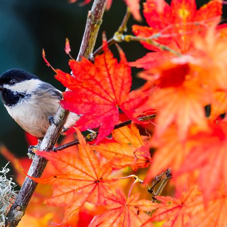 1514 Black-capped Chickadee--Autumn Maple