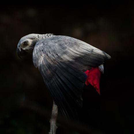 1208 African Gray Parrot--Shadowed Lives--Uganda