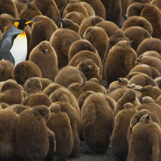 120 King Penguin--Creche--South Georgia Island