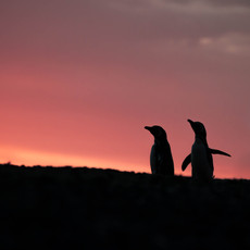 406 Magellanic Penguins--Walking on Sunshine--El Pedral