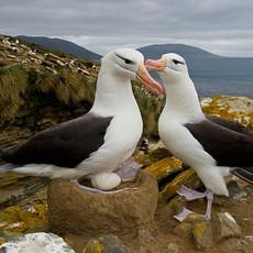 512 Black-browed Albatross--Courtship--Falkland Islands